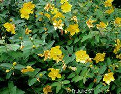 Hypericum calycinum 'Hidcote'