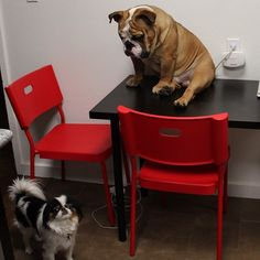 The major breeds of bulldogs are English bulldog, American bulldog, and French bulldog. The bulldog has a broad shoulder which matches with the head. Bulldog Pics, English Bulldog Puppies, British Bulldog, Funny Bulldog, Wooly Bully, Bully Dog, Funny Animal Pictures, Funny Animals, Cute Animals