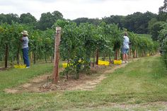 Harvesting Traminette grapes at Illinois River Winery.