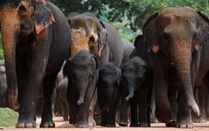 A herd of elephants take a stroll at the local elephant orphanage - Pinnawela, Sri Lanka | image by Ishara S. Kodikara