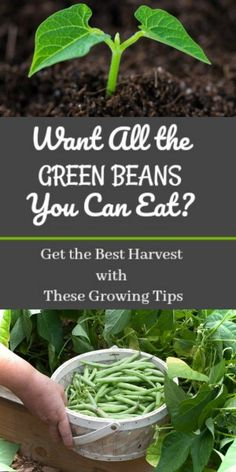 Want All the Green Beans You Can Eat? Get the Best Harvest With These Growing Tips Want All the Green Beans You Can Eat? Get the Best Harvest With These Growing Tips,garden & indoor plants etc These growing tips will be so helpful in the garden this year! Growing Green Beans, Growing Greens, Growing Tomatoes, Growing Vegetables, Planting Green Beans, Growing Bush Beans, Growing Broccoli, Growing Zucchini, Zucchini Plants