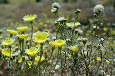 Still Plenty of Wildflowers to See in Joshua Tree | Wildflowers | SoCal Wanderer | KCET