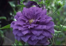 Clematis hybrids group ... www.clematis.be...Franziska Maria