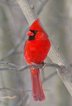 Male Cardinal. I saw in Nashville TN winter 2013-2014 (not my picture). My cats favorite bird to watch through the window. He gets so excited and talks to them. I doubt he'd know what to do if he ever caught one (not much danger of that since he is an indoor cat and makes so much noise talking to the birds he sees).