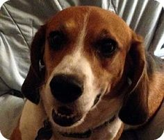 Houston, TX - Beagle. Meet Gibbs, a dog for adoption. http://www.adoptapet.com/pet/10497238-houston-texas-beagle