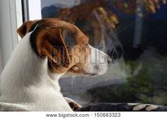 #Dog #JackRussell #Terrier sunbathing on the window. Dog watch over world through the window. #KiraYan #sundathing #window #indoor #photography