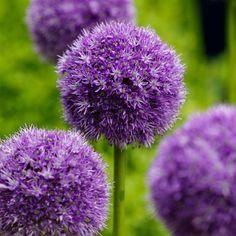 Allium Aflatunense-2 bulbi-8 lei
