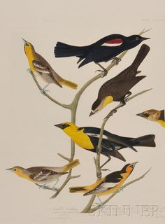 Audubon, John James (1785-1851), Nuttall's Starling, Yellow-headed Troopiale, Bullock's Oriole, plate CCCLXXXVIII from Birds of America, engraved, printed, and hand-colored by Robert Havell, London, Whatman 1838 watermark, the full sheet, 39 3/4 x 26 1/2 in., (4-inch repair along left center edge, binding holes and some minor chipping, remnants of mounts on reverse).  Estimate $1,000-1,500 ~ sold for $7,110.
