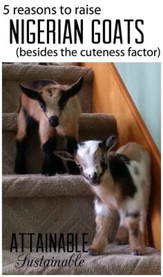 Nigerian Dwarf goats are a great choice for any size homestead, but especially for folks who want to raise dairy animals, but are short on space.