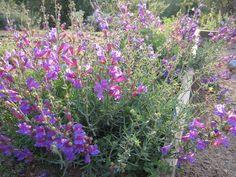 Foothill Penstemon (Penstemon heterophyllus)