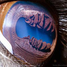 Lhama eye