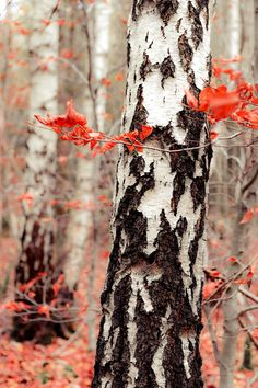 Birch in the autumn. Photography by hannes cmarits on 500px