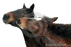 Portrait of two brown horses nuzzling, isolated on white background.