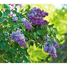 President Lincoln Lilac