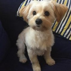 morkie haircuts Google Search Puppies Morkie puppies