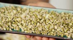 Manuela Scalini chefe de Alimentação viva, ensina como germinar grãos, castanhas e sementes e os benefícios que esses alimentos trazem para a nossa saúde.
