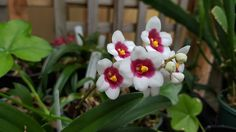 Sarchochilus Orchid