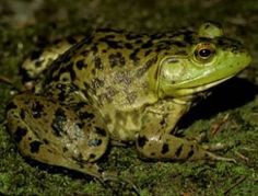 Rana catesbeiana is the largest frog native to North American, and has a range that covers the entire eastern half of the United States, up . Different Types Of Frogs, Frog Species, Frog Tattoos, Perfect Beard, Beard Lover, Beard Balm, Frog And Toad, Natural Scenery, Hair And Beard Styles