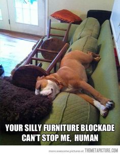 Oh my Gosh!!!! This is Sam!! I put chairs on the couch and Sam works around it!!!