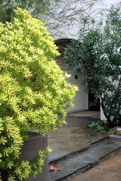 Shrubs evergreen shrubs and evergreen on pinterest for Small sized evergreen trees
