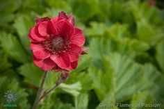 Geum chiloense 'Flames of Passion'