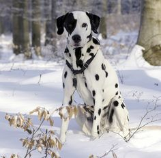 Dalmatian Dog Breeds | dalmatian the dalmatian is the only spotted dog breed and they have ...