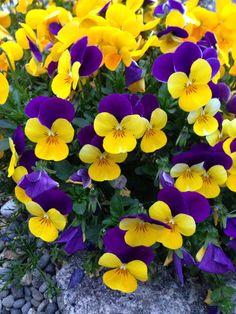 ガーデニング:我が家の長持ち花、パンジー♡