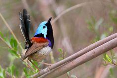 Australian Birds, Nature Reserve, Animal Paintings, Fairy, Penrith, Wrens, Animals, Google Search, Mini