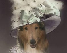 Simba ready for the wedding by Chris Stone on Rough Collies
