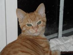 Pumpkin is an adoptable Domestic Short Hair Cat in Ellicott City, MD. ADOPTION FEE REDUCED TO ONLY $75. Introducing Pumpkin, a very sweet, beautiful boy. A little timid until he g...
