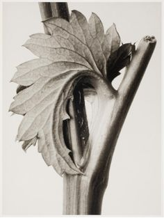 Karl Blossfeldt, Untitled VII, 1929