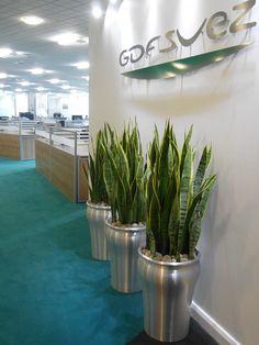 A fabulous office plant with character - Sansevieria Trifasciata 'Laurentil'