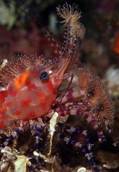Brushes for sale--Marble shrimp - Saron marmoratus/North Sulawesi