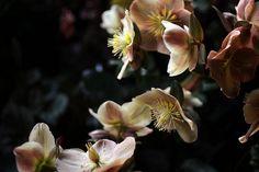 Hellebore Cinnamon | Saipua | Sarah Ryhanen