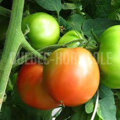 image de Solanum Cobra