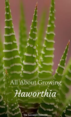 Indoor Vegetable Gardening All about how to grow haworthia - perfect indoor succulent! - Haworthia - perfect indoor succulent plants - small, slow-growing, low light needs and highly ornamental. Succulent Soil, Cacti And Succulents, Planting Succulents, Garden Plants, Indoor Plants, Planting Flowers, Succulent Species, Succulents In Containers, Air Plants
