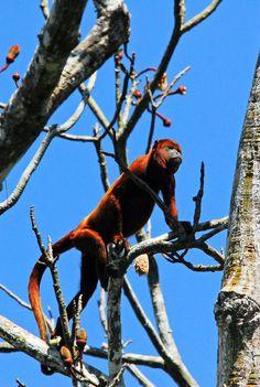 Howler #Monkey, #Peru