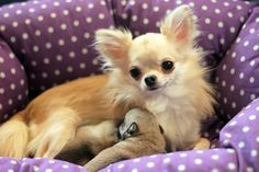 Chihuahua mom and puppy