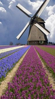 Absolutely gorgeous colors and clouds! Windmill and Flower Field in Holland Hyacinths grow in a field in North Holland Province, Netherlands. Holland is the world's largest exporter of flowers. Places Around The World, The Places Youll Go, Places To See, Around The Worlds, Wonderful Places, Beautiful Places, Beautiful Flowers, Le Moulin, Belle Photo