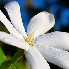 Tiare. Flower of Tahiti. Most beautiful smell...