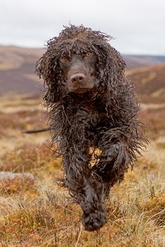Irish Water Spaniel #dogs #puppy