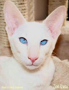 Siamese Cats Facts Art and photos of the Siamese Cat. Pretty Cats, Beautiful Cats, Animals Beautiful, Cute Animals, Animal Gato, Mundo Animal, Sphynx, Kittens Cutest, Cats And Kittens
