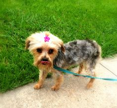 Snuggles is an adoptable Yorkshire Terrier Yorkie searching for a forever family near Birmingham, AL. Use Petfinder to find adoptable pets in your area. Yorkshire Terrier Dog, Terrier Mix, Snuggles, Animal Rescue, Pet Adoption, Puppies, Pets, Animals, Yorkies