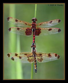 This is the dragonfly that my tattoo was inspired.