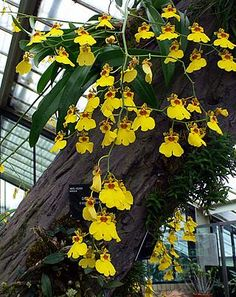 As orquídeas podem ser cultivadas em vasos, mas é comum, após uma florada, transferi-las de dentro de casa para as árvores do jardim ou das calçadas próxim Heuchera, Ikebana, Orchids, Landscape, Instagram, Gardening, Twitter, Wild Orchid, Hanging Succulents