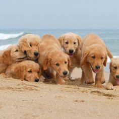 Golden pups at the beach