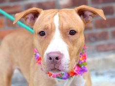 TO BE DESTROYED 9/17/14 Brooklyn Center -P  My name is NANCY. My Animal ID # is A1013442. I am a female tan and white am pit bull ter mix. The shelter thinks I am about 3 YEARS old.  I came in the shelter as a STRAY on 09/08/2014 from NY 11231, owner surrender reason stated was STRAY.