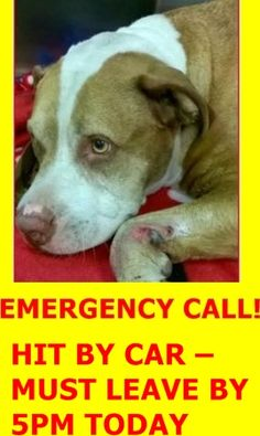 SUPER URGENT Manhattan Center CHAMPION – A1048756 ***HIT BY CAR – MUST LEAVE BY 5PM TODAY*** NEUTERED MALE, MALE BROWN PIT BULL, AM PIT BULL TER, 7 yrs STRAY – STRAY WAIT, NO HOLD Reason STRAY Intake condition EXAM REQ Intake Date 08/22/2015 http://nycdogs.urgentpodr.org/champion-a1048756/#