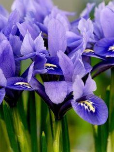 Iris Reticulata Alida ®