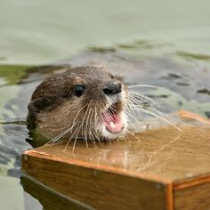 Mom help, I'm in the deep end. Baby Otters, Lovely Creatures, Funny Photos, Funniest Photos, Love Pet, Animal Photography, Dolphins, Mammals, Animal Pictures